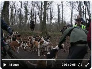 Comportement des chiens de chasse à courre - 1